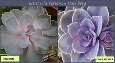 Gardening With Containers echeveria perle von nurnberg develops better color with more sunlight - How to Stress Succulents Don't you just love colorful succulents? Last week, I took an in-depth look at… Succulent Potting Mix, Succulent Gardening, Container Gardening, Gardening Tips, Succulent Gifts, Succulent Care, Succulent Plants, Indoor Gardening, Echeveria