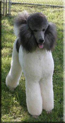 """Learn even more info on """"poodle dogs"""". Look at our website. Dog Training Methods, Basic Dog Training, Dog Training Techniques, Training Dogs, Poodle Grooming, Dog Grooming, French Poodles, Standard Poodles, Poodle Haircut"""