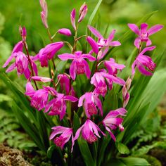 Van Zyverden Bletilla Striata Hardy Garden Orchid Root (Set of 3)-832701 - The Home Depot