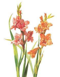 Vintage Gladiolus Print