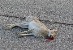 roadkill rabit - Google Search