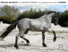 Carletto, reverse dappled blue roan Murgese stallion