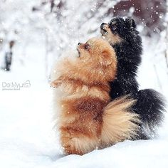 Marvelous Pomeranian Does Your Dog Measure Up and Does It Matter Characteristics. All About Pomeranian Does Your Dog Measure Up and Does It Matter Characteristics. Cute Puppies, Cute Dogs, Dogs And Puppies, Doggies, Animals And Pets, Cute Animals, Save A Dog, Getting A Puppy, Lap Dogs