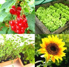 A complete guide to growing vegetables, fruit, herbs and edible flowers in garden beds, allotments and containers: from small pots to large plots