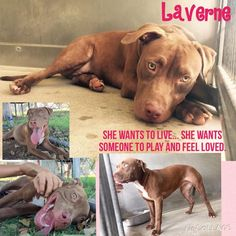 CA Urgents - SHE IS JUST A PUPPY. A SWEET PUPPY! LAVERNE #A485583 (URGENT! SHE WAS DUE OUT 8/27) Her eyes doesn't hide her sadness. She is so lost and alone... Laverne was taken to the play yard for a break from the kennel and felt loved by humans ... she was a totally different girl. She was so happy. Now back in the kennel her spirit is down again...Laverne knows where she is is not good. She has nothing.. There is no life inside a kennel. She is in a limbo... Waiting for an incertain…