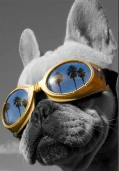 Cool Frenchie !