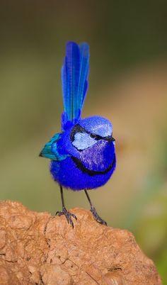 Ratona australiana franjeada - Splendid Fairywren - Türkisstaffelschwanz - Mérion splendide