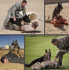 Military Working Dogs 101 - Chapter Apprehension/Hold The Military Working Dog should hold the suspect until commanded to release and then return to the handler. If the suspect again attempts to run away or if he attacks the handler, the dog mu Military Working Dogs, Military Dogs, Police Dogs, Fancy Dog Collars, Puppy Biting, Dogs 101, War Dogs, Search And Rescue, Service Dogs