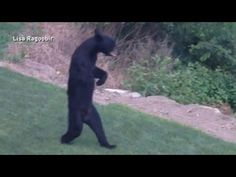 New Jersey's Walking Bear Mystery Solved..Wildlife expert says the N.J. bear is most likely walking upright because of an injury to its front paws.