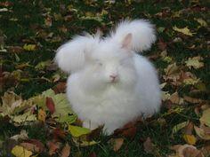 Blog - Hickory Lane Farm English Angora Rabbits