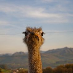 #cabarceno #ostrich #nature #landscape #summer #500px #animal #animals
