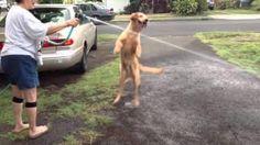 Golden Retriever #Puppy Vs Water - #cute #funny