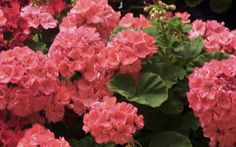 Rocky Mountain Geraniums - salmon color. I really like these!!