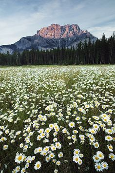 Ox-eyed Daisies, Cascade Mountain, Banff National Park, Alberta, Canada