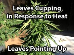 Too hot for your cannabis in the grow room? Learn how to save your plants from heat stress with a variety of techniques as well as certain supplements! Growing Weed, Cannabis Growing, Marijuana Plants, Cannabis Plant, Cannabis Cultivation, Heat Stress, Medical Cannabis, Medicinal Herbs, Ganja