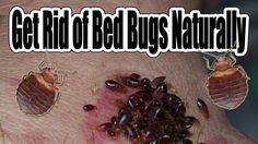 https://www.youtube.com/watch?v=XMN_1Vg0A1I   How To Get Rid of Bed Bugs Naturally
