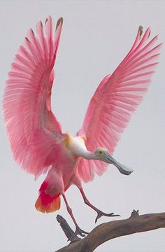 Roseate spoonbill coming in for a landing on the Gulf Coast of Texas • photo: Michael Rosenbaum on Flickr