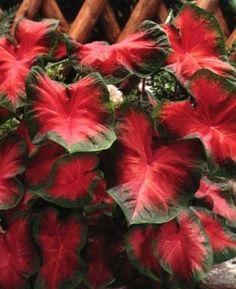 Caladium hortulanum 'John Peed' - Fancy Leaf Caladium www.vanbloem.com #vanbloemgardens #flowerbulbs #caladium