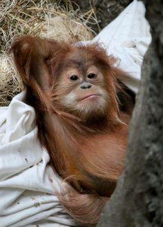 Rare Animals, Cute Baby Animals, Animals And Pets, Funny Animals, Strange Animals, Baby Orangutan, Chimpanzee, Primates, Beautiful Creatures