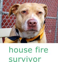 SAFE! SUPER URGENT 3/28/15 Manhattan Center GRANDMA - A1031514 FEMALE, BROWN / WHITE, PIT BULL MIX, 8 yrs STRAY - ONHOLDHERE, HOLD FOR DISASTER Reason FIRE Intake condition GERIATRIC Intake Date 03/28/2015 https://www.facebook.com/photo.php?fbid=985016651511214