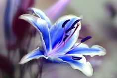 BLUE LILY - I hope you like it, you enjoy it! Thanks to all for your visit and support.