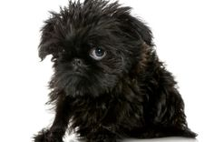 Brussels Griffon Pictures | Photos and Images of the Brussels Griffon