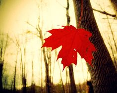 Blood red leaves autumn rustic fall art canadian forest by bomobob, $30.00