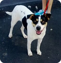 Carmella's Info...  Breed:Australian Cattle Dog MixColor:UnknownAge:Adult Size:Med. 26-60 lbs (12-27 kg)Sex:Female ID#:13109 I am good with kids, good with dogs, and good with cats.  Carmella's Story... more info to follow soon
