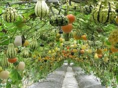 Vertically grown gourds...wow!