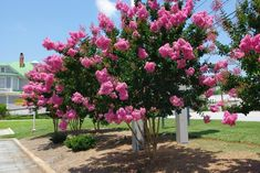 SIOUX Crape Myrtle tree (a MEDIUM crape myrtle, 13-20 ft tall, medium Pink, narrow, upright, grey-brown multi-trunk, red-purple fall color). Sioux is a medium size tree with bright Pink flower clusters. Often used to line driveways or back fence lines when you don't want a taller tree. MEDIUM crape myrtle trees grow 10' to 20 feet tall.