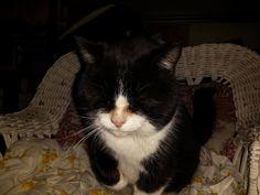 Found Cat - Tuxedo - Dundas, ON, Canada L9H 5E3 on November 30, 2015 (13:00 PM)
