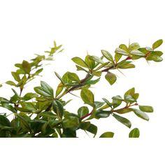 Berberys zielony - Berberis thunbergii