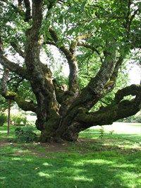 Black Tartarian Cherry @ Owen Memorial Rose Garden - Eugene Oregon
