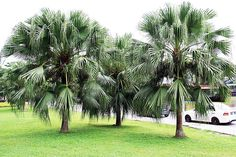 'Chinese Fan Palm' Zone 8 Height: 15 ft (common in Charleston but can reach 30 ft) Spread: ft