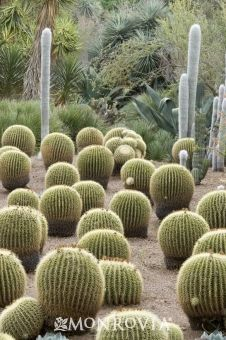 The golden barrel cactus is terrific for an eco-friendly garden because it uses very little water, and gives a trendy modern feel to your space!