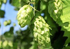 Humala on paitsi upea köynnöskasvi, myös oluen maustaja. Nuoria versoja voi myös syödä. Lue humalan kasvatusohjeet Viherpihasta!