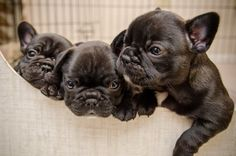 Frenchie babies