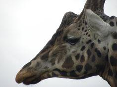 close_up_of_giraffe_face____by_ionamaia-d2z9hqj.jpg (900×675)