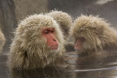 Must go see the snow monkeys of Nagano
