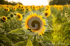 Sunflower close up stock image. Image of growing, blossoming - 96781317 Close Up, Dandelion, Stock Photos, Nature, Flowers, Plants, Image, Naturaleza, Dandelions