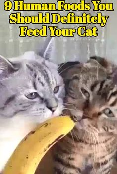 If you are a cat owner, you must have experienced the feeling of being victimized by your cat. This happens when your feline displays its lon.#catfood #animals #pet #cattoys Kitten Food, Kitten Care, Cat Care Tips, Pet Care, Pet Tips, Charcoal Bengal, Human Food For Cats, Homemade Cat Food, Cat Health Care