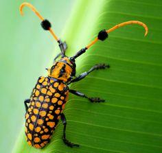 Pom-pommed long horned beetle