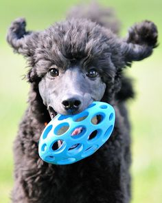 Standard poodle puppy - an absolutely wonderful picture!