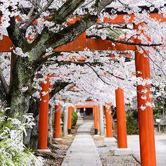 桜 京都 - Google 検索