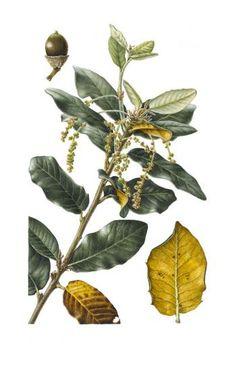 Christine Battle | American Society of Botanical Artists