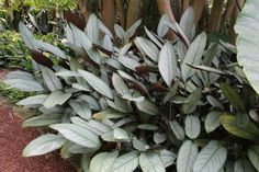 Ctenanthe setosa 'Grey Star' adds lightness to dark areas