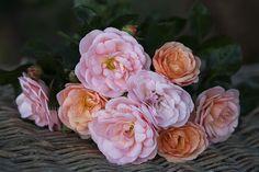 Bordure Nacree   Wagner's Rose Nursery