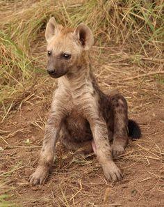 hyena babe