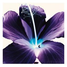 Plum Hibiscus Posters av Christine Caldwell hos AllPosters.no