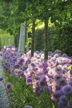 Allium as an underplant